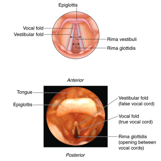 Vocal cord anatomy