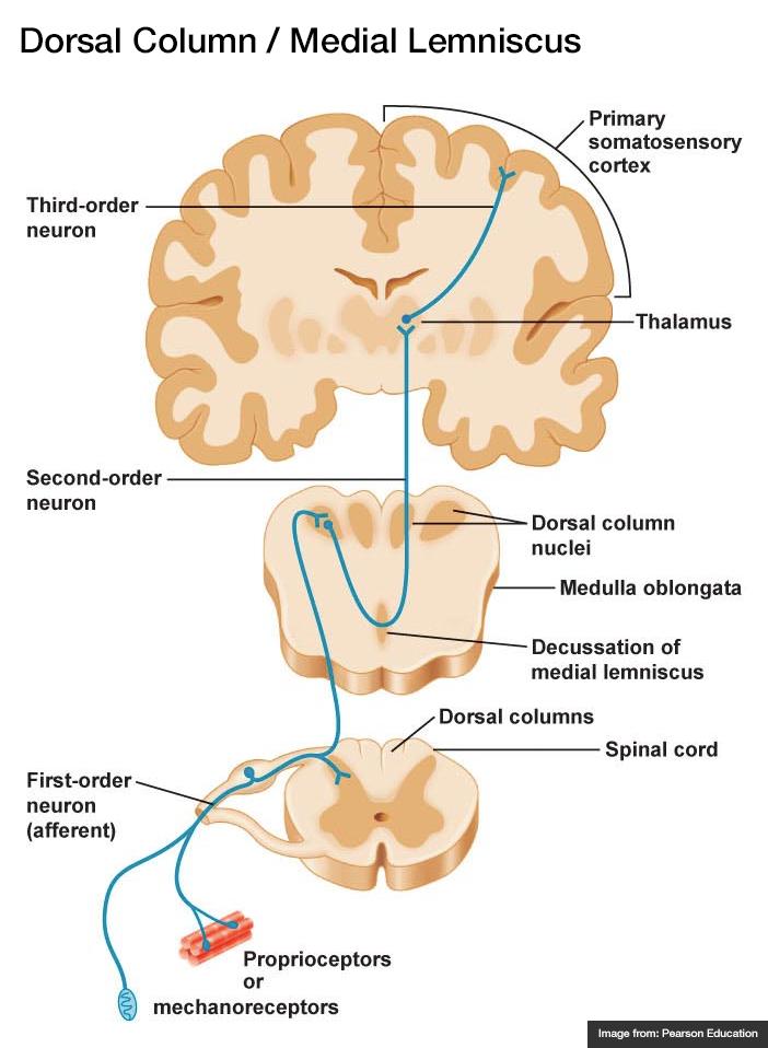 Dorsal Column / Medial Lemniscus